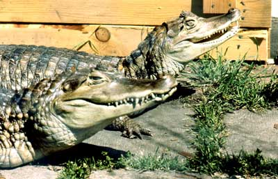 alligators1
